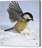 Chickadee-2 Acrylic Print