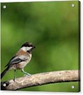 Chickadee . 40d8031 Acrylic Print