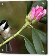 Chickadee By Rhododendron Bud Acrylic Print