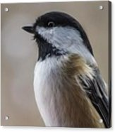 Chickadee Close Up Acrylic Print