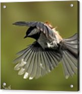 Chickadee In Flight Acrylic Print