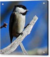 Chickadee Moments Acrylic Print