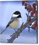 Chickadee With Craquelure Acrylic Print