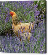 Chicken In The Lavender Acrylic Print