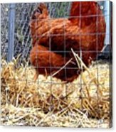 Chicken In The Straw Acrylic Print