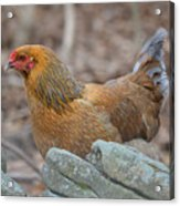 Chicken In The Woods Acrylic Print