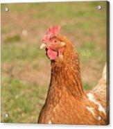 Chicken Strutting Acrylic Print