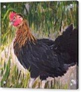 Chicken Study 1 Acrylic Print
