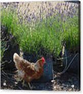Chicken With Lavender  Acrylic Print