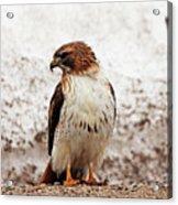 Chickenhawk Acrylic Print