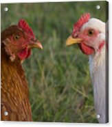 Chickens Acrylic Print