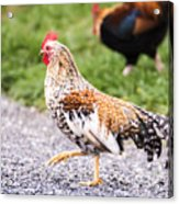 Chickens In Bird In Hand Acrylic Print