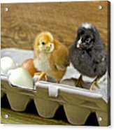 Chicks And Eggs Acrylic Print