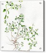 Chickweed Herb Acrylic Print