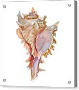 Chicoreus Ramosus Shell Acrylic Print