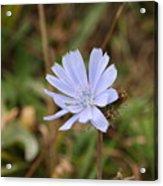 Chicory Blue Acrylic Print
