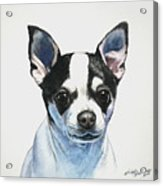 Chihuahua Black Spots With White Acrylic Print