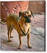 Chihuahua - Dogs Acrylic Print