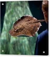 Child Watching Spotted Ray Fish Acrylic Print