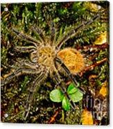 Chilean Tarantula Acrylic Print