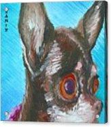 Chili Chihuahua Acrylic Print