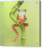 Chilling Tiger Leg Monkey Tree Frog Acrylic Print