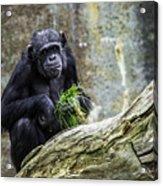 Chimpanzee Foraging Acrylic Print
