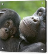 Chimpanzee Mother And Infant Acrylic Print