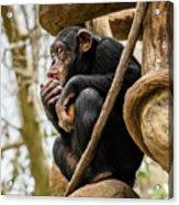 Chimpanzee, Nc Zoo Acrylic Print