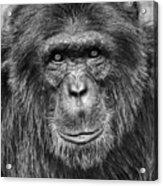 Chimpanzee Portrait 1 Acrylic Print by Richard Matthews
