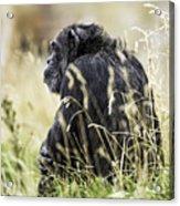 Chimpanzee Sitting In The Grass Acrylic Print