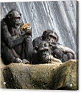 Chimpanzee Snacking On A Sunflower Acrylic Print