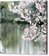 Chinese Cherry Blossoms  Acrylic Print