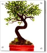 Chinese Elm Bonsai Tree Acrylic Print