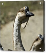 Chinese Geese Anser Cygnoides At Zoo Acrylic Print