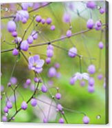 Chinese Meadow Rue Flowers Opening Acrylic Print