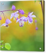 Chinese Meadow Rue Acrylic Print