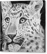 Chinese Panther Acrylic Print
