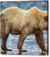 Chinitna Bay Brown Bear Acrylic Print
