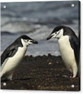 Chinstrap Penguin Duo Acrylic Print