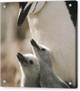Chinstrap Penguin Pygoscelis Antarctica Acrylic Print