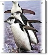 Chinstrap Penguins 1 Acrylic Print