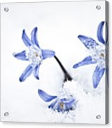 Chionodoxa - Glory Of The Snow Acrylic Print