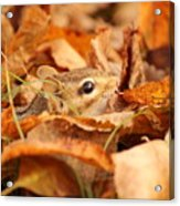 Chipmunk Among The Leaves Acrylic Print
