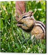 Chipmunk Cutie Acrylic Print