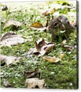Chipmunk Getting Ready For Winter Acrylic Print