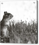 Chipmunk In Black And White Acrylic Print
