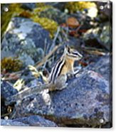 Chipmunk On The Rocks Acrylic Print