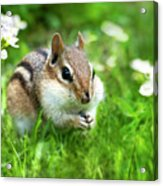 Chipmunk Saving Seeds Acrylic Print