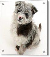 Chipoo Puppy Acrylic Print